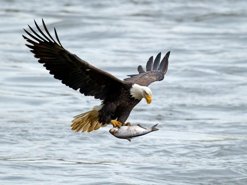 bald eagle catching fish out water